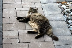 Momma Cat Resting On Back Patio 001 (Chrisser) Tags: cats ontario canada nature animal animals cat mainecooncat ourcatcompanions crazyaboutcats kissablekat kissablekats bestofcats kissablekitties kissablekitty canoneosrebelt1i canonefs60mmf28macrousmprimelens