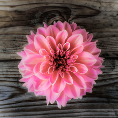 Pink Dahlia - a bit different (AnjaIrene_S.F.) Tags: wood pink dahlia different