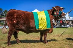 Grande Campeao Devon (Federao Bras. das Associaes de Animais de ) Tags: brasil bra riograndedosul titulo agricultura pecuria expointer esteio agronegcio feiraagropecuria expointer2015 rsgov 02sep15