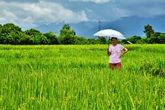 DSC_0107 copy (kenken.marilag) Tags: flower cow rice philippines farming nueva baka palay ecija lupao