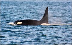 e DSC_6310 20150927 (Selena Rhodes Scofield Photography) Tags: wildlife pacificocean whales orca sanjuanislands victoriabc killerwhales orcinusorca marinemammals jpod salishsea southernresidentkillerwhales j27 selenarhodesscofieldphotography