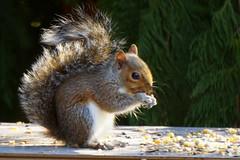 DSC04924 (Trisha Pearson) Tags: babysquirrel easterngraysquirrel