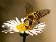 Hoverfly on a daisy (drelliott0net) Tags: life plant flower nature insect fly daisy arthropoda hoverfly bellis syrphidae diptera insecta