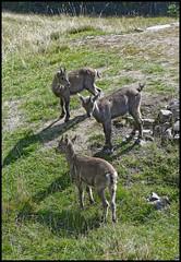 les troisp'tits bouquetins (wilphid) Tags: montagne animaux chamonix parc montblanc sauvage hautesavoie faune leshouches parcdemerlet