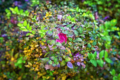 Fall Bush (Kansas Poetry (Patrick)) Tags: autumn fall autumnleaves kansas lawrencekansas patrickemerson patricklovesnancy
