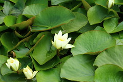 Water Lily (jdathebowler Thanks for 835,000+ views.) Tags: waterlily naturescall fantasticnature thebeautyofnature