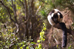 LEMUR-PARK-40 (RAFFI YOUREDJIAN PHOTOGRAPHY) Tags: park city travel trees plants baby white cute green animal fauna canon river jumping sweet turtle wildlife bricks mother adorable adventure explore lemur 5d lemurs bushes madagascar 70200 antananarivo mkiii