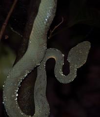 DSC_1416 (akkythegunner) Tags: macro green nature photography snake wildlife insects frogs viper herp herps matheran naturephotography macrophotography catsnake greenvinesnake bamboopitviper