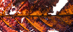 Marronier (Frdric THIBAUD Photo) Tags: autumn macro automne leef feuille marronnier