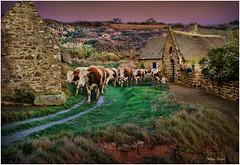 Finistère Sud - Octobre 2015 (Philippe Hernot) Tags: vaches troupeau village finistère 29 bretagne france philippehernot kodachrome paysage paisaje nature nikond700 nikon posttraitement