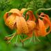 Turk's-Cap Lily (Lilium michiganense)