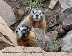2016 02 Yellow-bellied marmots (scostello22) Tags: yellowstone marmots yellowbellied