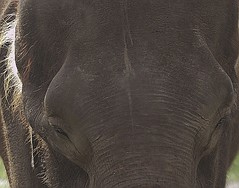 Borneo Elephant (Azwan Asmat) Tags: elephant wildlife borneo sabah pygmy lok kawi