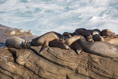Group of Seals Resting on a Cliff (Transient Eternal) Tags: animals california lajolla ocean places sandiego sea seals waves cliff crowd daylight daytime entangled flippers mammals many rest resting rocks rugged sleeping sunshine