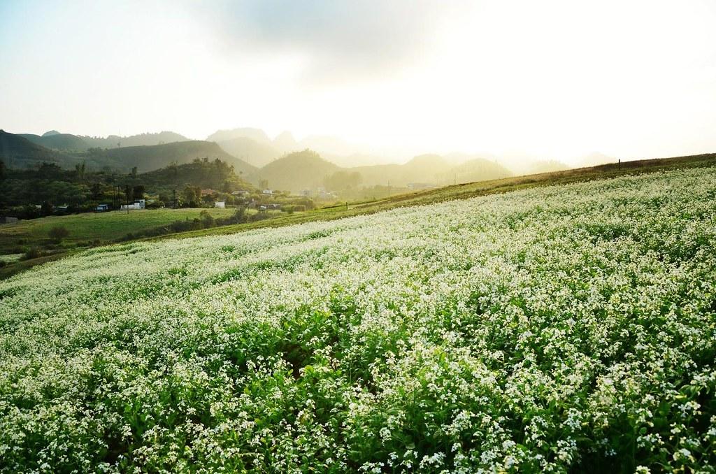 Mùa hoa cải tuyệt đẹp ở Mộc Châu