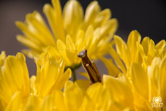 The Mantis's lunchtime (andrea.prave) Tags: flowers food flores nature fleur yellow jaune bug mantis insect vespa wasp flor natura lunchtime amarillo gelb giallo fiori 花 自然 insekt cibo mantide insetto insecte insetti pranzo insecto زهرة 昆虫 цветок насекомое حشرة 黄 mantidereligiosa أصفر חרקים eðli