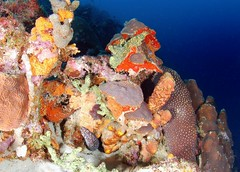 Moray eel hideout (gillybooze (David)) Tags: sea fish water coral underwater scuba diving caribbean reef bonaire moray sponges morayeel ©allrightsreserved madaleunderwaterimages