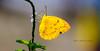 Golden Topaz Butterfly (maharamiko) Tags: wild butterfly insect indonesia golden wing liar taman topaz alam daun kupukupu cantik sempurna serangga gayo sayap goldentopaz gayolues kakilangit cannon60d mencarimakan kuningemas sumaterabutterfly