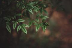 Winter greens (Tammy Schild) Tags: winter green nature leaves bush foliage shrub helios402 heavenlybamboo