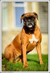 Roxy and Twiggy (ShawWellPete) Tags: dog animals boxer twiggy