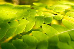 (S.askins15) Tags: light summer sun plant macro green me leaves maine ferns planar
