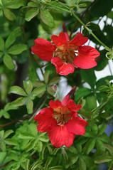 Tropaeolum speciosus (Todd Boland) Tags: flowers vines tropaeolum