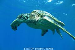 IMG_7117 copy (Aaron Lynton) Tags: blue hawaii underwater turtle maui hawaiian octopus honu tako cephalopod hawaiiangreenseaturtle lyntonproductions