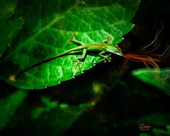 Firebreathing Anole (jimziemer414) Tags: lizard fantasy anole gecko hybiscus photoart