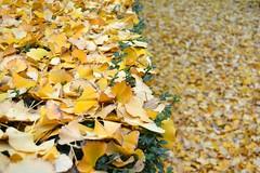 December (mikael_on_flickr) Tags: italien autumn winter fall leaves yellow foglie jaune garden vinter italia december have gelb giallo ferrara leafs inverno autunno dicembre gul latefall giardino itlay lateautumn palazzomarfisadeste emililaromagna