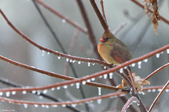 Freezing Rain, Cardinal (PhotoCity.CA) Tags: ice nature water rain cardinal freezingrain