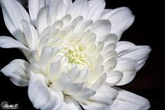 Chrysanthemum -  (CyberDEL1) Tags: macedonian macedoniatimeless macedonia macedoniagreece greece hellas samsungnx1 samsungnx60mmf28macro chrysanthemum