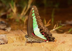 Common Bluebottle (or Blue Triangle), (Graphium sarpedon, Papilionidae) (John Horstman (itchydogimages, SINOBUG)) Tags: insect macro china yunnan itchydogimages sinobug butterfly lepidoptera swallowtail papilionidae topf25 tumblr topf50