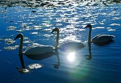 Morning Rush Hour (Scott M. Mohn) Tags: swans birds trumpeterswans morning lake water waterfowl aquaticbirds nature wildlife waterlillies reflections autumn sunlight minnesota sunrise flare naturallight waterscape blue morningsun sonyilca77m2