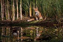 Fuchs am See 1 (lunamtra) Tags: fuchs see