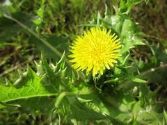 Prickly Sowthistle (JulieK (finally moved to Wexford)) Tags: flower wildflower flora nature bloom plant 2016onephotoeachday ireland irish wexford sonchusasper pricklysowthistle macro
