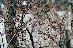 Berries (LeanneRichelle) Tags: berries berry bokeh cute red brown autumn fall weeds plants planties river water cold winter wintery