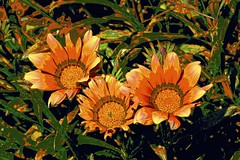 Tangerine Dream! (maginoz1) Tags: flower flora tangerinedream abstract art curves manipulate spring october 2016 auckland newzealand canon g3x