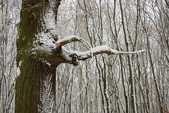 ckuchem-1647 (christine_kuchem) Tags: baumrinde buche bume eiche eis frost hainbuche natur pfad pflanzen ruhe samen spuren stille struktur wald weg wildpflanzen winter einsam kalt schnee ste