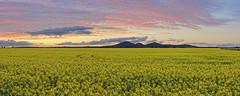 You Yangs yellow (J-C-M) Tags: bellarinecanola youyang mountains canola field crop yellow sunset victoria australia