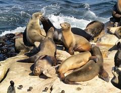 Wild seals of California (moonjazz) Tags: animal wild seals california photography pacificocean sandiego play fight marine life family coast lajolla rocks pod sanctuary sea color nature friends whiskers hug