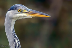 Grey Heron (parry101) Tags: cardiff forest farm nature reserve south wales grey heron herons bird birds animal
