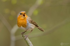 Rudzik, European Robin (Erithacus rubecula) ... 2016r (Rafa Szozda) Tags: birds nature aninsla wildlife robin colors spring nikon d7200 nikkor200500 nowasol lubuskie poland