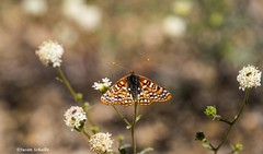 At the buckwheat (Photosuze) Tags: butterflies checkerspots insects pollination animals bugs flowers flora nature wildife