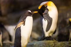 What's Up? (Thomas Hawk) Tags: america forestpark missouri mo saintlouiszoo stlouis usa unitedstates unitedstatesofamerica bird penguin zoo fav10 fav25