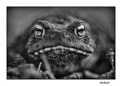 Common toad (Artico7) Tags: rospo toad commontoad rospocomune europe european anfibio amphibian eyes bigeyes closeup bw blackwhite blackandwhite biancoeenero monochrome nikon d200 gradiscutta varmo friuli italy