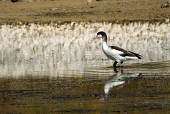 Common Shelduck (Tadorna tadorna) (vvpopov) Tags: tadorna shelduck bird nature nikon1aw1 1nikkor70300vr bulgaria blacksea