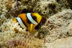 DSC03324-85.jpg (chasingphil) Tags: diving southeastasia similanislands thailand