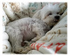Nap Time 11-20-16 (MelenaMe) Tags: nap napoleon dog pet sleeping napping resting canine animal blanket writting letter letters sleep rest dreaming dream