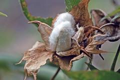 """Valle Gran Rey - Fruchtgarten """"Aragata"""" - Baumwolle (astroaxel) Tags: spanien kanarische inseln la gomera valle gran rey fruchtgarten aragata baumwolle"""