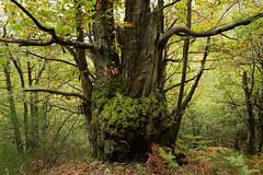 (eLe_NoiR) Tags: elenoir alberi allaperto tronco tree bosco riservadellacquerino cantagallo foresta autunno icoloridellautunno